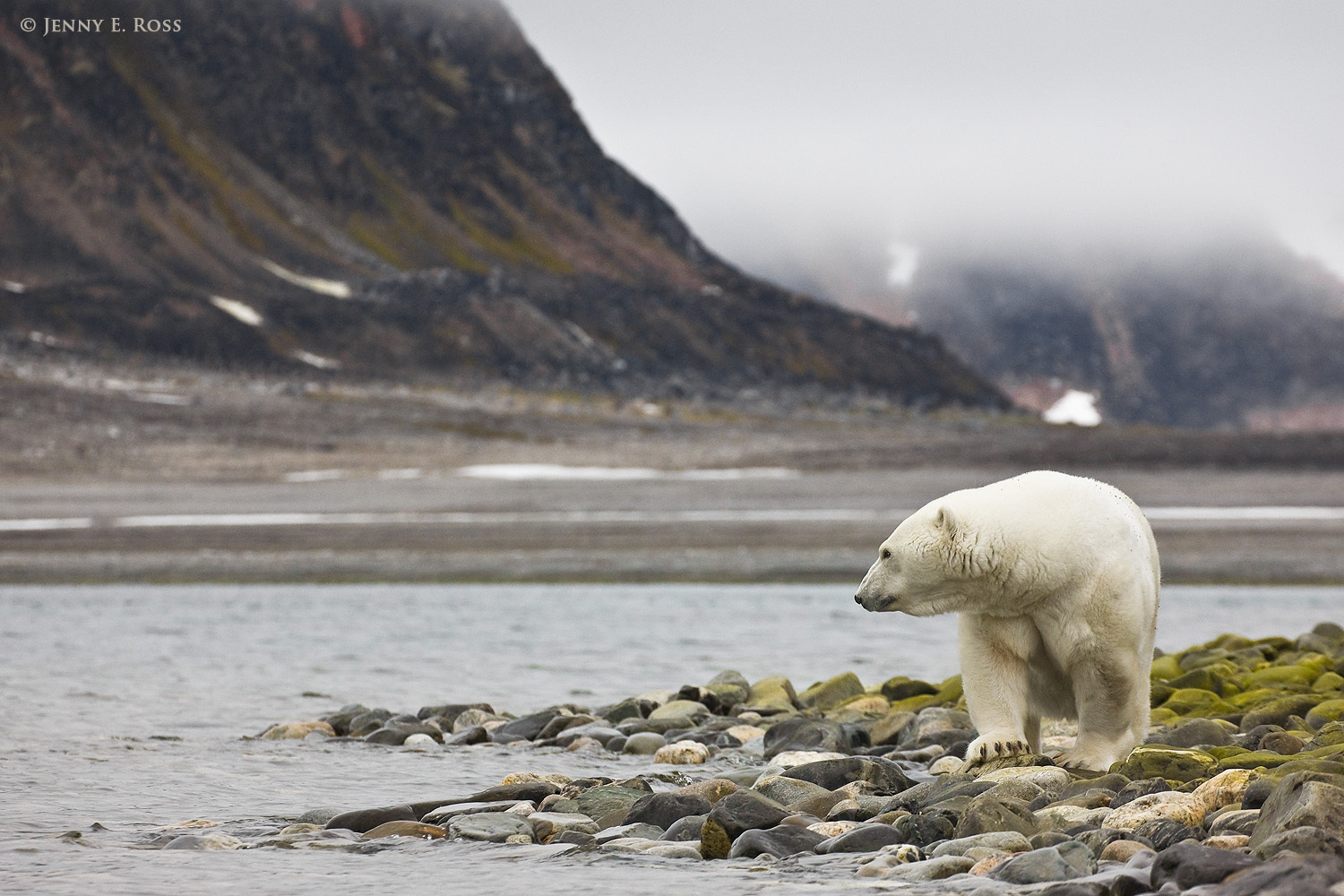 An adult female polar bear stranded ashore on Phippsoya in Norway's Svalbard Archipelago due to lack of sea ice.