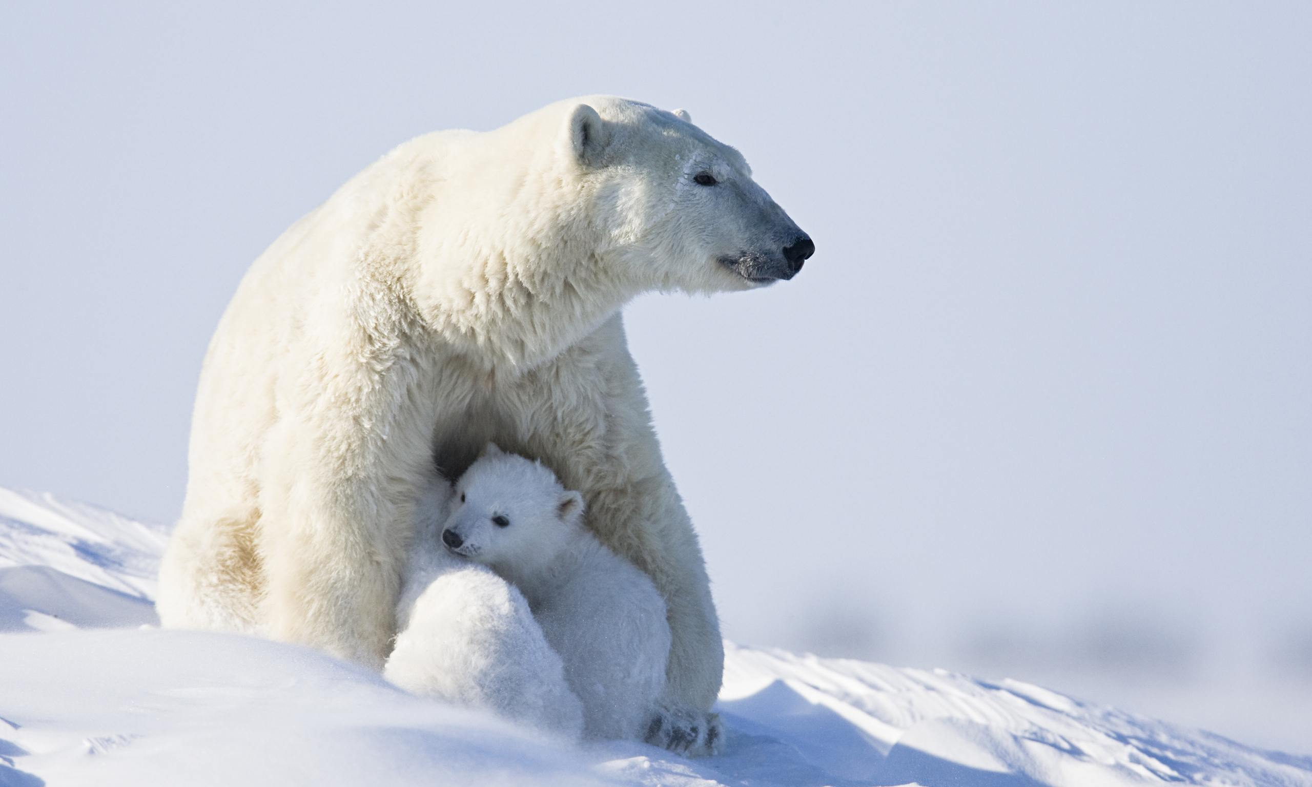 A polar bear with her cubs